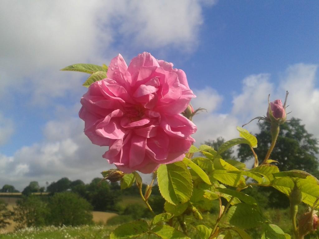 rose-de-damas